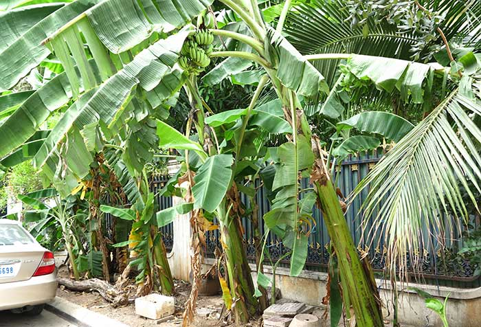 Banana trees in Phnom Penh