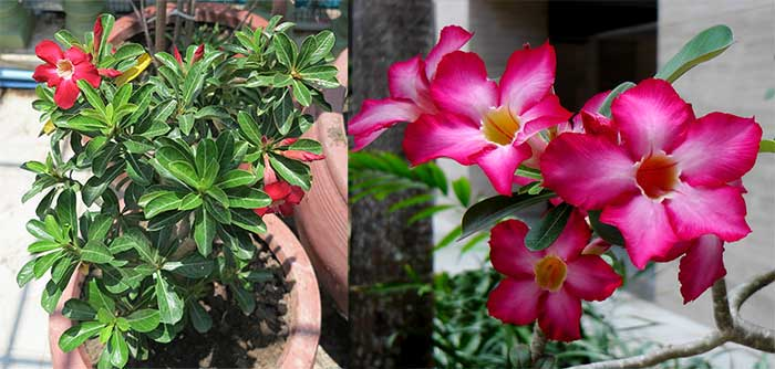 Desert Rose plant on a balcony in Cambodia