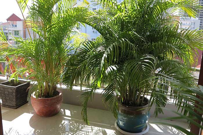 Golden cane palms on a balcony