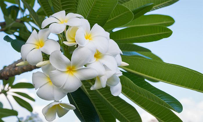 Plumeria plant